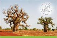 Burkina Faso : huile de baobab
