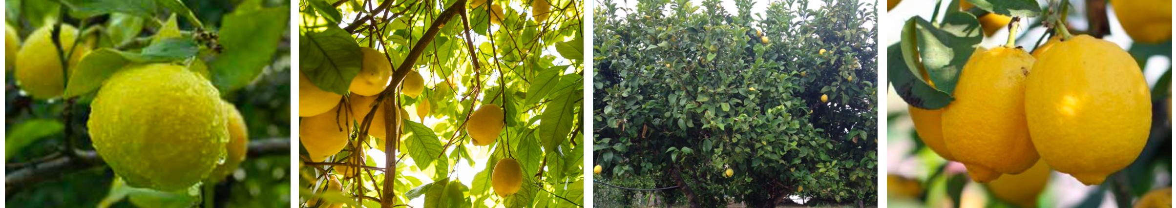 Cosmetagora formulation citron bio Sicile